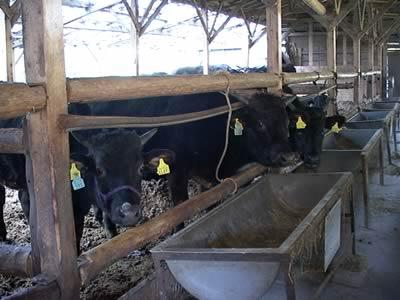 篠山の牛達