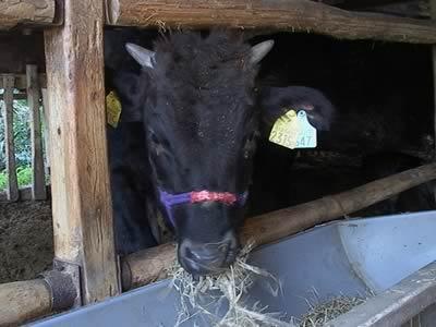 篠山牛 子牛