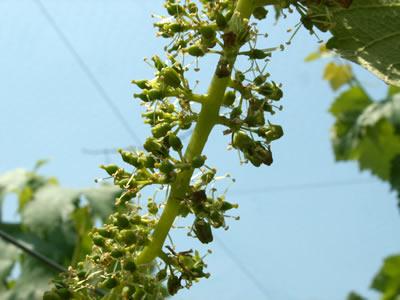 田中ぶどう園の巨峰の花