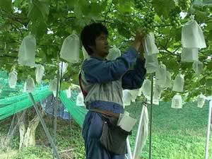 田中ぶどう園の巨峰の袋がけ作業です。