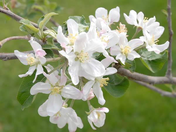 あらやファームのりんごの花アップ
