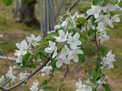 あらやファームのりんごの花
