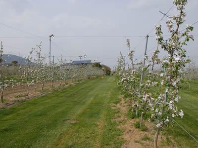 長野のりんごの花