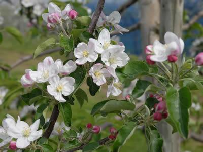 りんごの花とつぼみ