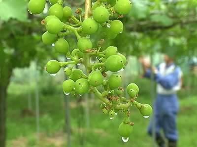 ブドウのジベレリン処理