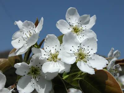 2006年4月16日中谷農園の梨の花です。