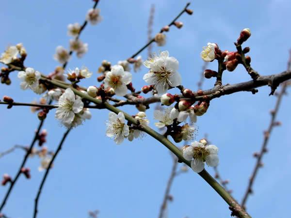 かつらぎ町の梅の花